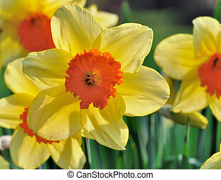 gyönyörű, nárcisz, kert