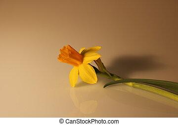 gyönyörű, nárciszok, elszigetelt, sárga