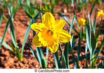 gyönyörű, nárciszok, kaszáló, színes, virágzó