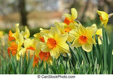 gyönyörű, nárciszok, kert