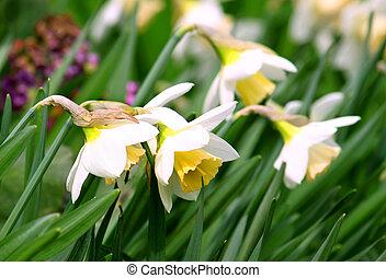 gyönyörű, nárciszok