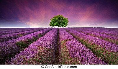 gyönyörű, nyár, összehasonlít, kép, fa, levendula terep, befest, napnyugta, táj, horizont, egyedülálló