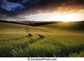 gyönyörű, nyár, búza, termés, mező, napnyugta, felnövés, közben, táj