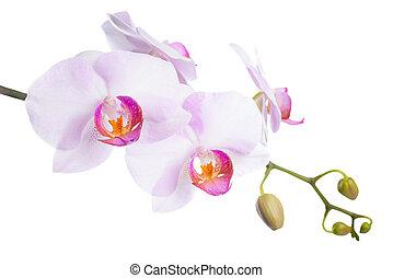 gyönyörű, orgona, elszigetelt, háttér, virágzó, fehér, orhidea