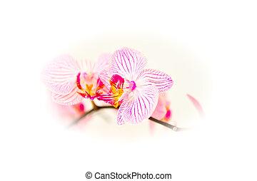 gyönyörű, orhidea