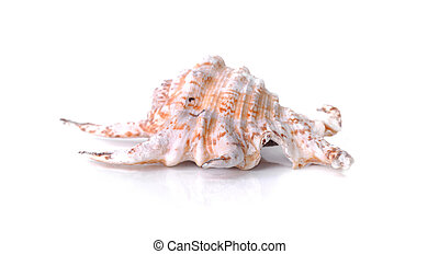 gyönyörű, pearly, kagyló, elszigetelt, háttér, fehér