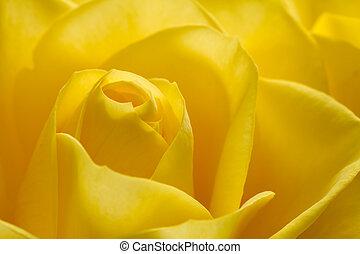 gyönyörű, rózsa, kép, feláll, sárga, becsuk