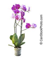 gyönyörű, rózsaszínű, elszigetelt, orhidea
