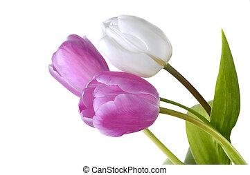 gyönyörű, rózsaszínű, elszigetelt, tulipánok