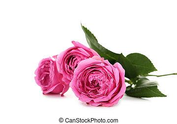 gyönyörű, rózsaszínű, fehér, elszigetelt, agancsrózsák