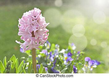 gyönyörű, rózsaszínű, jácint, kert