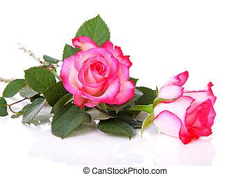 gyönyörű, rózsaszínű, két, agancsrózsák