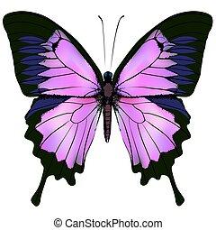 gyönyörű, rózsaszínű, szín, ábra, bíbor, vektor, butterfly.