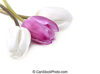 gyönyörű, rózsaszínű, tulipán