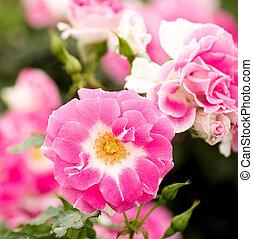gyönyörű, rózsaszínű virág, liget