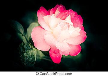gyönyörű, rózsaszínű virág, rózsa, víz letesz