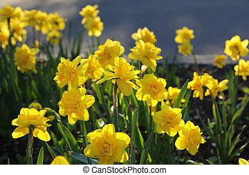 gyönyörű, sárga, nárciszok