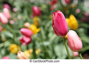 gyönyörű, tulipánok, eredet