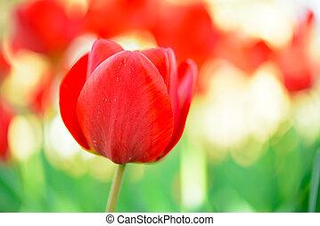gyönyörű, virág, kép, tulipán, fényes, field., háttér, piros