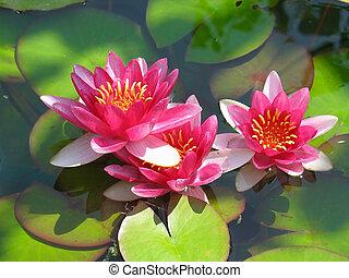 gyönyörű, virág, lótusz, zöld, víz, zöld, virágzó, tavacska liliom, piros