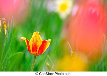gyönyörű, virág, tulipán, eredet, többszínű, mező, fényes
