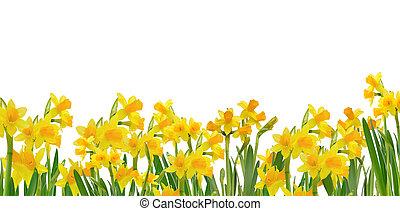 gyönyörű, virágzó, nárciszok
