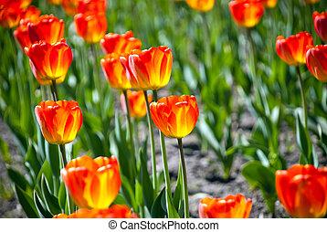 gyönyörű, visszaugrik időmérés, mező, tulipánok