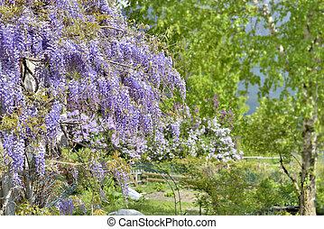 gyönyörű, wisteria, kert