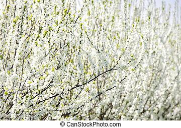 gyümölcsöskert, virágzó