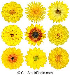 gyűjtés, white virág, elszigetelt, sárga