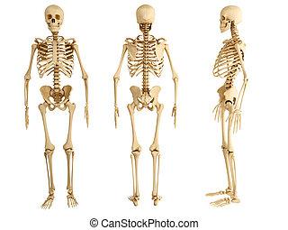 három, csontváz, emberi, nézet