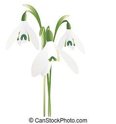 három, elszigetelt, háttér, white virág, hóvirág