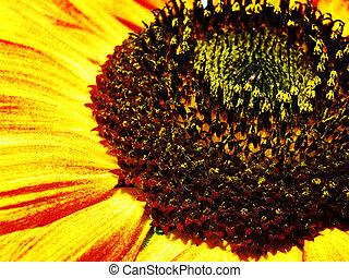 háttér, sunflower., természetes, elvont