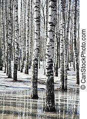 hó, olvadt, eredet, bitófák, nyírfa, táj