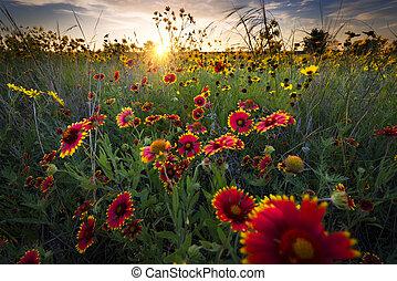 hajnalodik, wildflowers, felett, texas, élénk