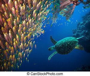 hawksbill tengeri teknős, (eretmochelys, tenger, imbricata)