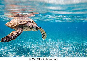 hawksbill tengeri teknős, tenger