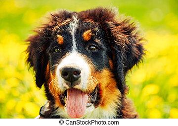 hegy hím, bernese, sennenhund), (berner, kutyus