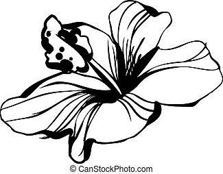 hibiszkusz, skicc, virágzás, virágbimbó