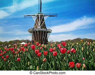 holland, szélmalom, virágzó, tulipánok, mező