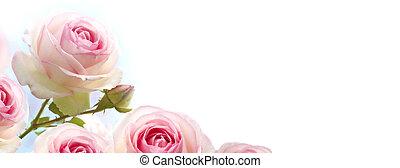 horizontális, transzparens, gradiens, felett, kék, agancsrózsák, menstruáció, rózsabokor, háttér, rózsaszínű, fehér