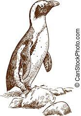 humboldt, pingvin, maratás, rajz, ábra