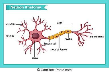 ideg, anatómia, tudományos, orvosi ábra, sejt