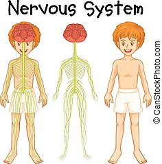 idegrendszer, emberi, fiú