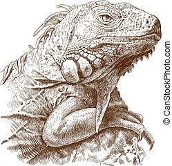iguana, metszés, ábra, fej