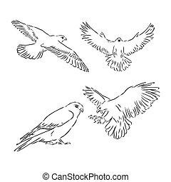 illustration., megtérít, madár, húzott, ábra, vektor, skicc, eagle., sólyom, kéz