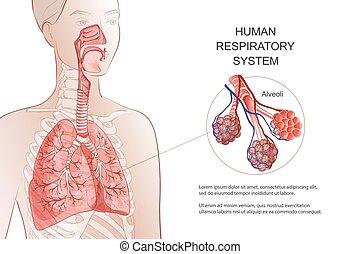 illustration., tüdő, emberi anatomy, rendszer, légzési, alveoli., vektor