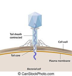 infecting, bacteriophage, baktérium