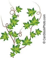 ivy., vektor, zöld, ábra