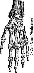játékkockák, azokat, illustration., szótár, 1885., közös, szüret, csukócsontra vonatkozó, carpometacarpal, radiocarpal, -, labarthe, kéz, orvosság, pál, (dorsal), bevésett, szokásos